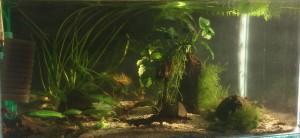 2. akvárium pre c.cantonensis tiger (20150404)