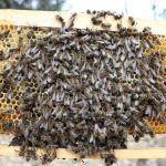 Včelstvo uhynuté hladom