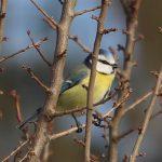 Sýkorka belasá, Parus caeruleus