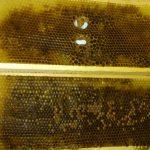 Perga, plástový peľ, včelí chlieb