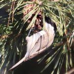 Poecile montanus, sýkorka čiernohlavá