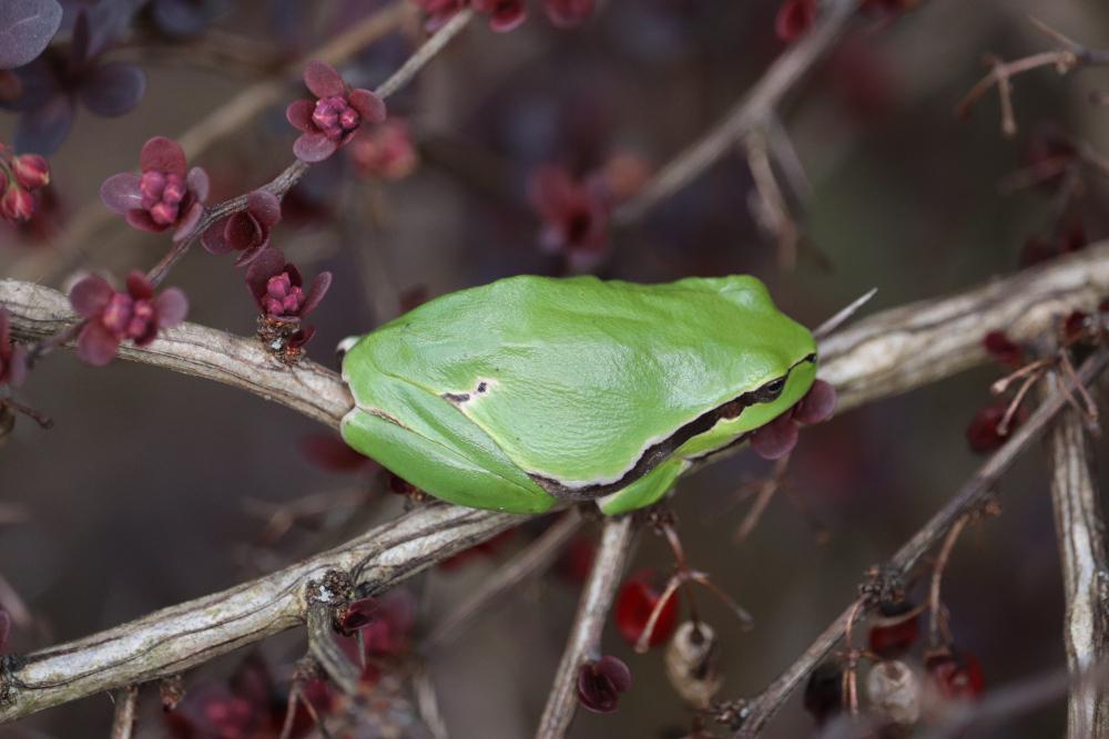 Rosnička zelená, Hyla arborea