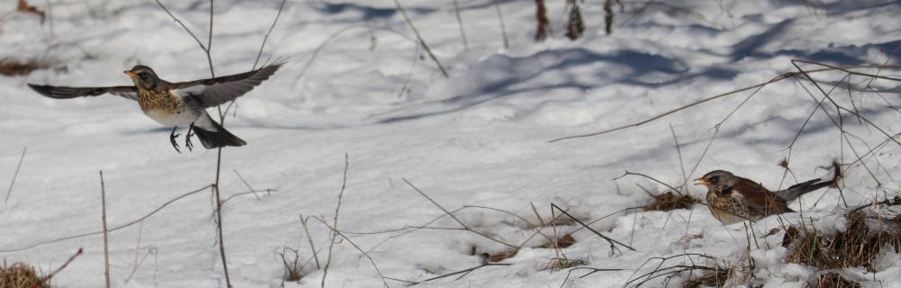 Drozd čvíkota, Turdus pilaris