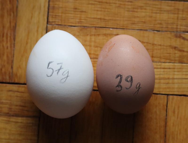 Prvé vajíčko - Nosnica Tetra SL