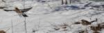 Drozd čvíkota - Turdus pilaris