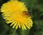 Včely v máji, júni 2021